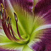 Day Lily Intimate Poster