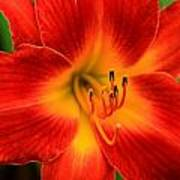 Day Lily1 Poster