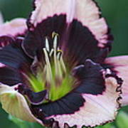 Daylily 12 Poster