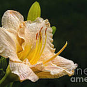 Daylily After A Morning Rain Poster
