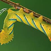 Deaths Head Hawk Moth  Poster
