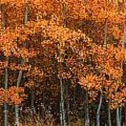 Deciduous Aspen Forest In Fall Poster