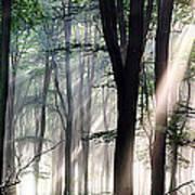 Deep Forest Morning Light Poster