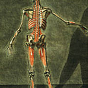 Deep Muscular System Of The Back Poster