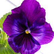 Deep Purple Pansy Poster