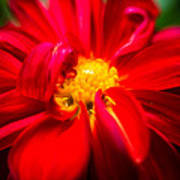 Deep Red Dahlia With Yellow Center Poster