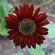 Deep Red Sunflower Poster