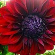 Deep Red To Purple Dahlia Flower Poster