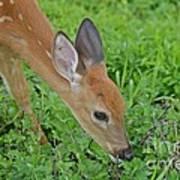 Deer 12 Poster