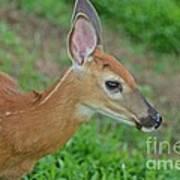 Deer 17 Poster