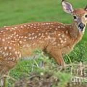 Deer 24 Poster