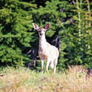 Deer Approaching Poster