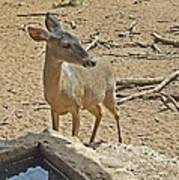 Deer At Waterhole Poster