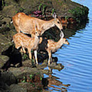 Deer Family By The Ocean At Low Tide Poster