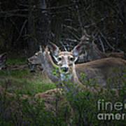 Deer Family Poster