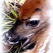 Deer-img-0349-002 Poster