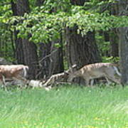 Deer In A Group Poster by Debbie Nester