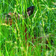 Deer In Tall Grass Poster