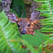 Fawn In The Ferns Poster