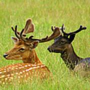 Deer Lying In A Field Poster by DerekTXFactor Creative