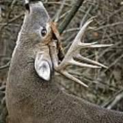 Deer Pictures 444 Poster