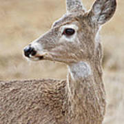 White Tail Deer Profile Poster