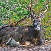 Deer Relaxing Poster