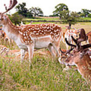 Deer Standing Up Poster