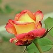 Delaney Sisters Grandiflora Rose 2 Poster