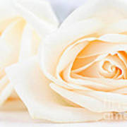 Delicate Beige Roses Poster
