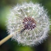 Delicate Dandelion Poster