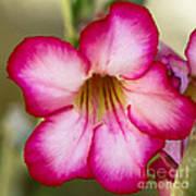 Delicate Desert Rose Poster