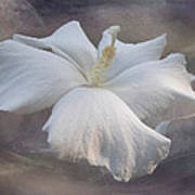 Delicate Hibiscus Poster