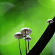 Delicate Mushrooms Poster