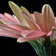 Delicate Petals. Poster