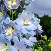 Delphinium With Cloud Poster