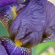 Demure Iris Poster