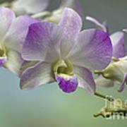 Dendrobium  6398 Poster