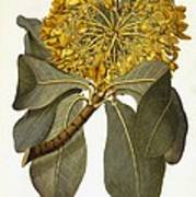 Deplanchea Tetraphylla, 1778 Poster