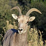 Desert Bighorn Sheep Zion National Park Poster