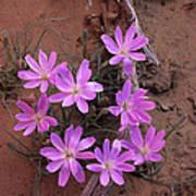 Desert Chicory Rafinesquia Neomexicana Poster