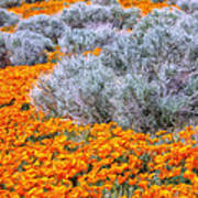 Desert Poppies And Sage Poster