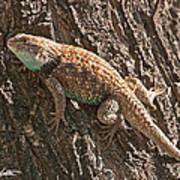 Desert Spiny Lizard Poster