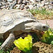 Desert Tortoise Delight Poster