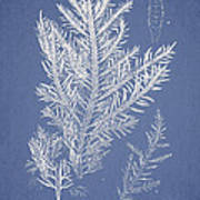 Desmarestia Ligulata Poster by Aged Pixel