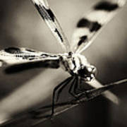 Determined Dragonfly Poster