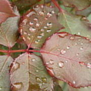 Dew Drops On The Rose Leaves Poster