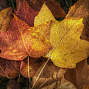 Dew On Autumn Leaves Poster by Scott Norris