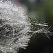 Dew On Dandelion Poster