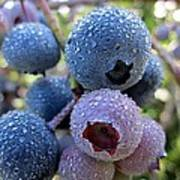 Dewy Blueberries Poster